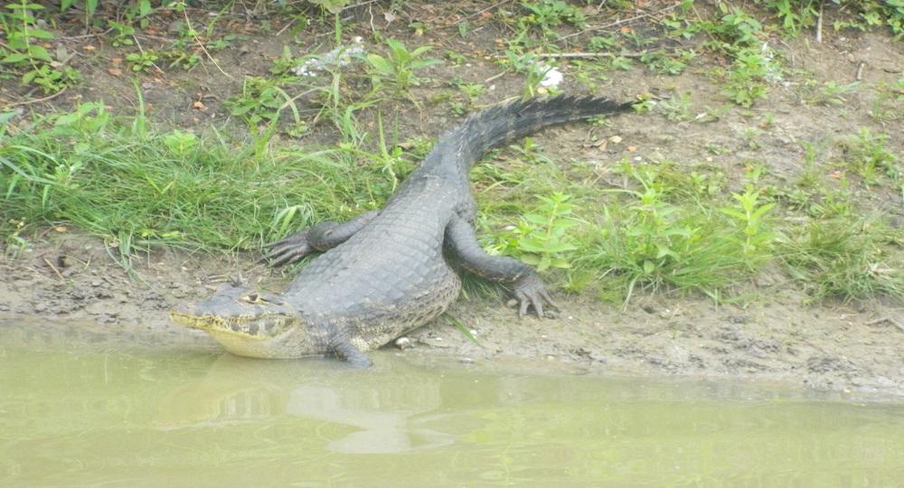 Jacaré Pantanal